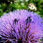 bijen op bloem van kardoen