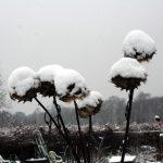 artisjok in winterkleed