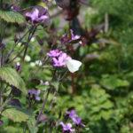 koolwitje op bloemen van damast plant